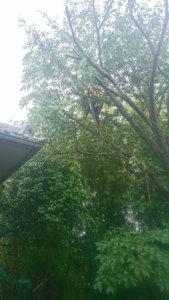 サクラの枝下ろし作業の様子