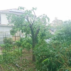 柿の木、作業後