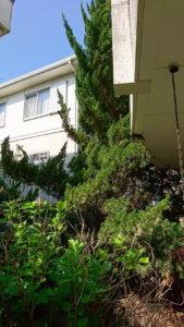 隣の敷地へ伸ばして成長したカイズカイブキ。奥にはカエデやモチノキなどが並んでいます。