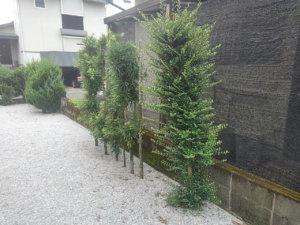 伐根を行うのはマキの木やサザンカなど計6本