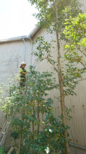 剪定作業中。梯子を使い、いずれも上から順に高さを下げていきます