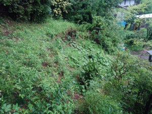 急な斜面を覆いつくすように生えているこちらの雑草も