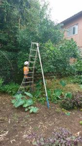 柚子の剪定作業中。高さを抑え、忌み枝を抜いていきます
