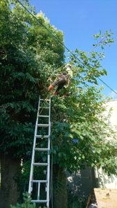 柿の木剪定作業中