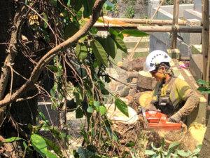 カシの木、断幹作業中の様子