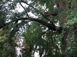 分かりにくいかもしれませんが中央に見える枝の先と そのもう一つ上に見える枝が大きく裂けてしまっています