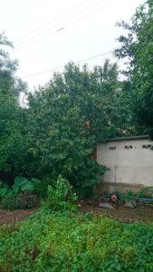 作業前。隣のアパートまで枝が伸びてしまい大きくなりすぎた栗の木