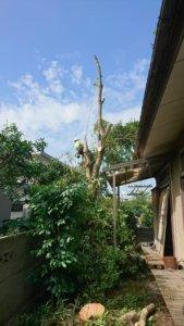 二本目のモチノキの伐採状況、枝が無くなっただけでもかなり開放的に見えます