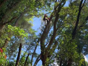 樹木に登りこんで切り下し開始!