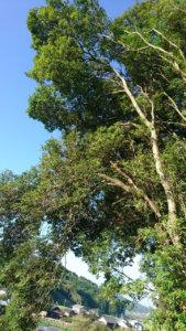 住宅側へ傾き大きく成長した樹木たち