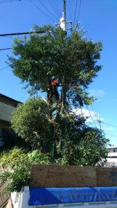 モチノキに登りこみ、下側から枝を落としていきます