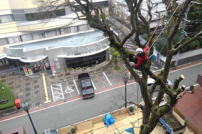 下には枝を落とせない状況の中、作業は細心の注意を払いながら進めました