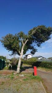 道路へ大きく枝がせり出したツバキ。作業前。