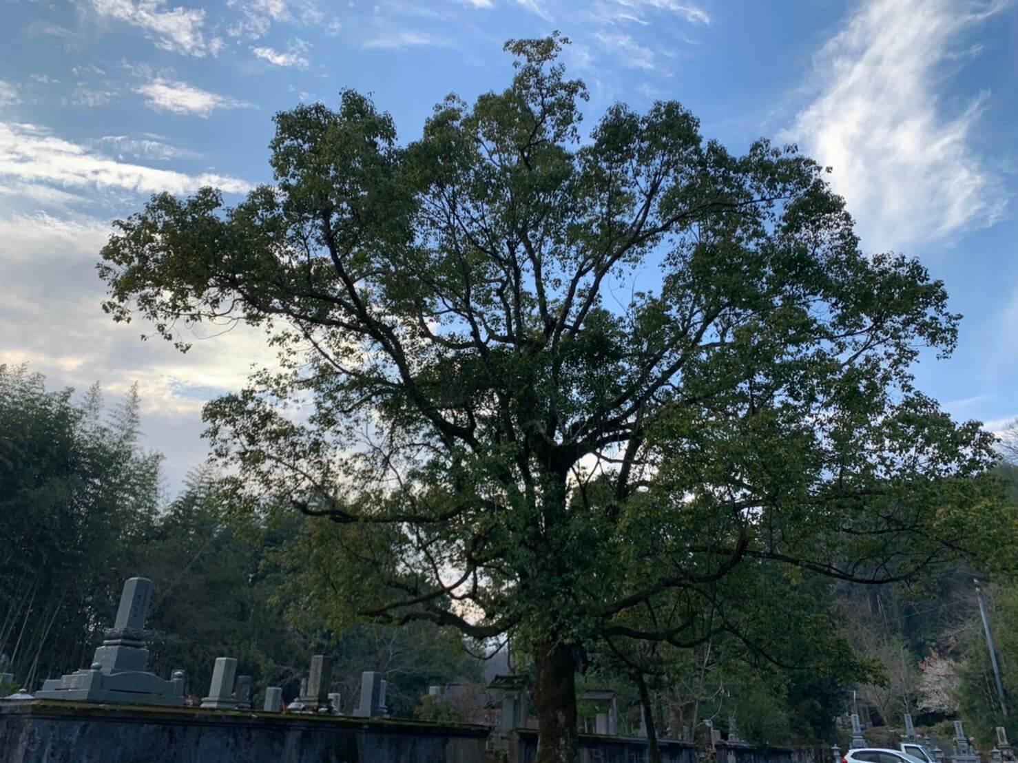 樹高約16m程の大きなクスノキ