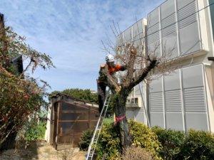 玄関前の梅の木伐採作業(郡)