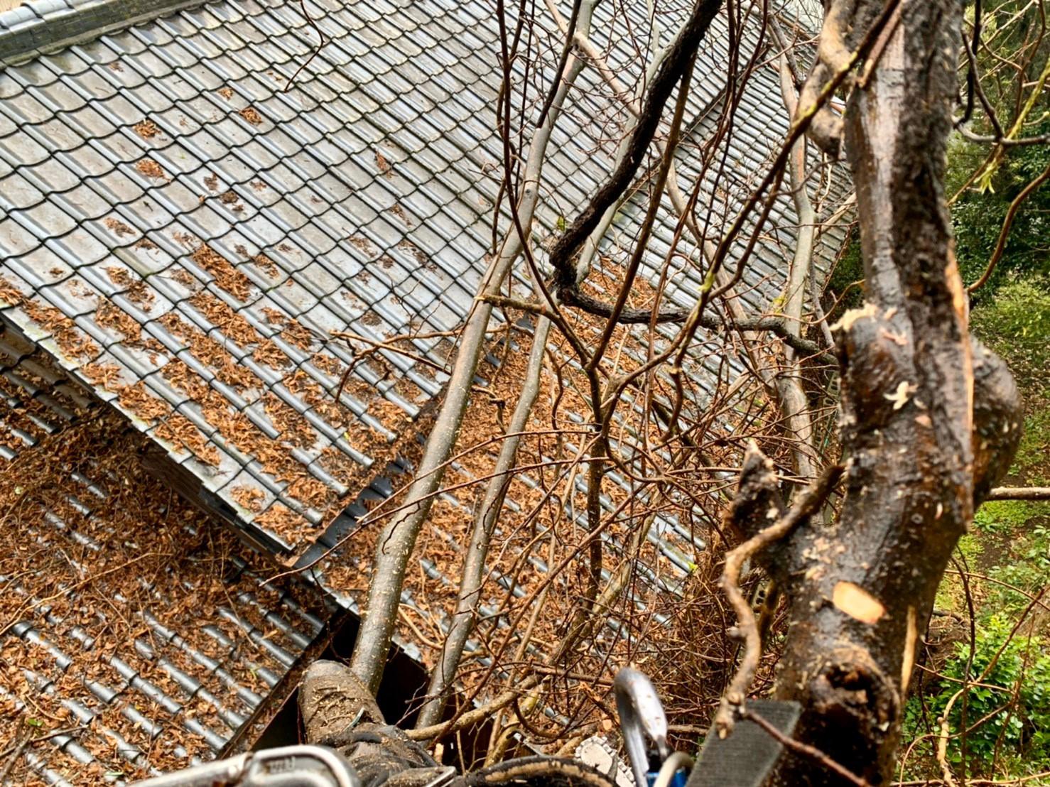 樹上からの作業風景。屋根に被さるように枝を伸ばしている事がよくお分かりいただけるかと思います