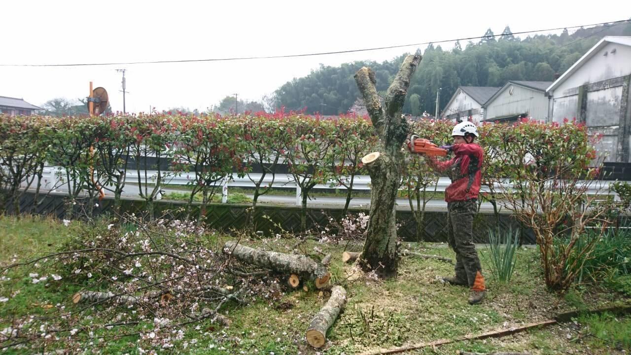 梯子で枝を切り落とし、幹の断幹作業を行う田嶋