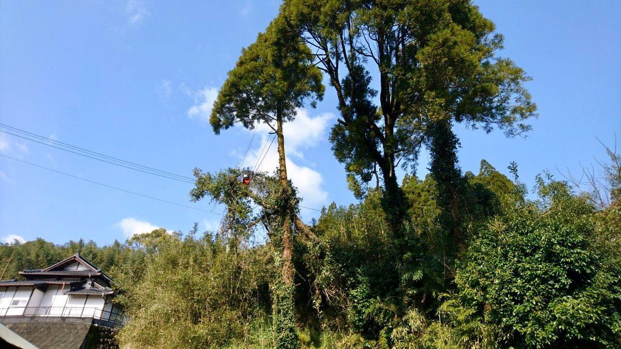 スギに引っ掛かったタブの木の処理を始める田嶋。特に電線に大きく被さっている箇所でした。