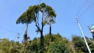 作業が進み、丸裸となっていく杉の木
