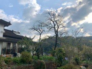 中央に見える2本の木が枝下ろしを行う柿の木。