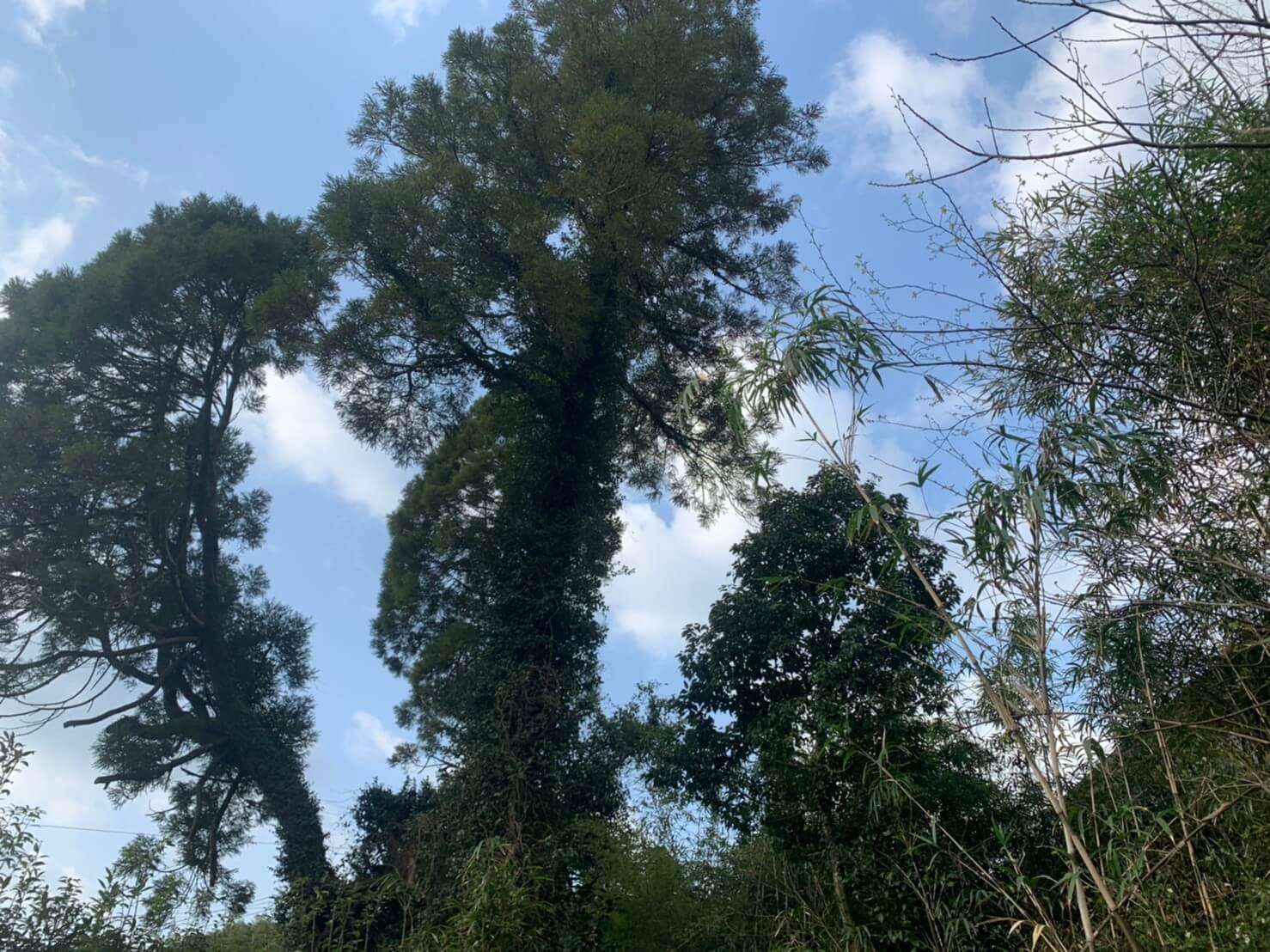 伐採を行う杉の木三本とタブノキ一本