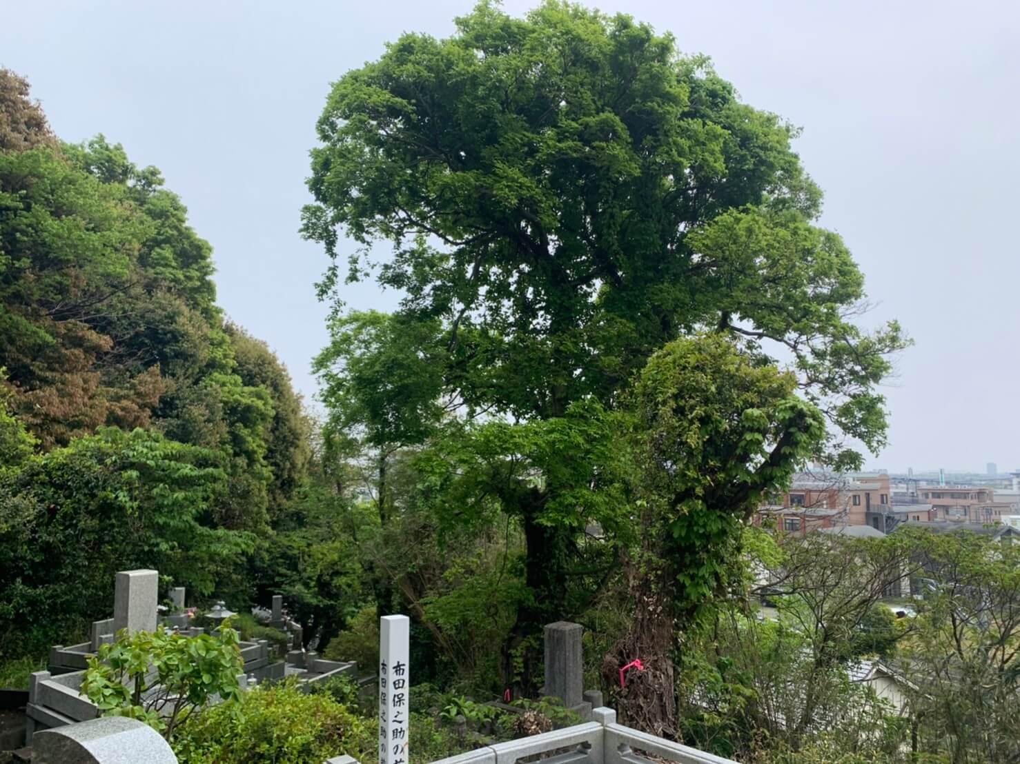 伐採を行うエノキと枯れ木