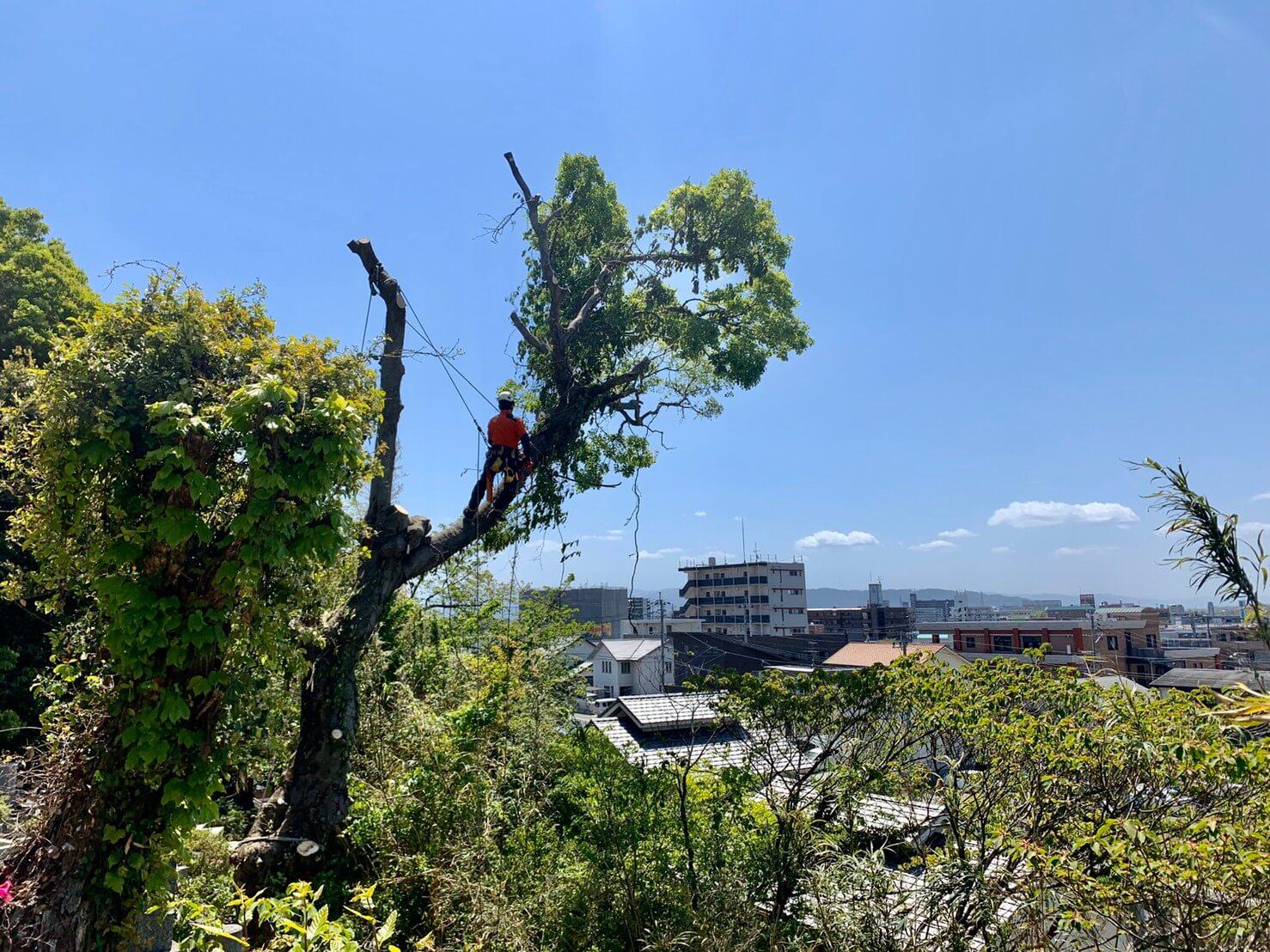 道路側の枝の吊り切りを行う代表山本。どんな状況でも山猿にお任せください。