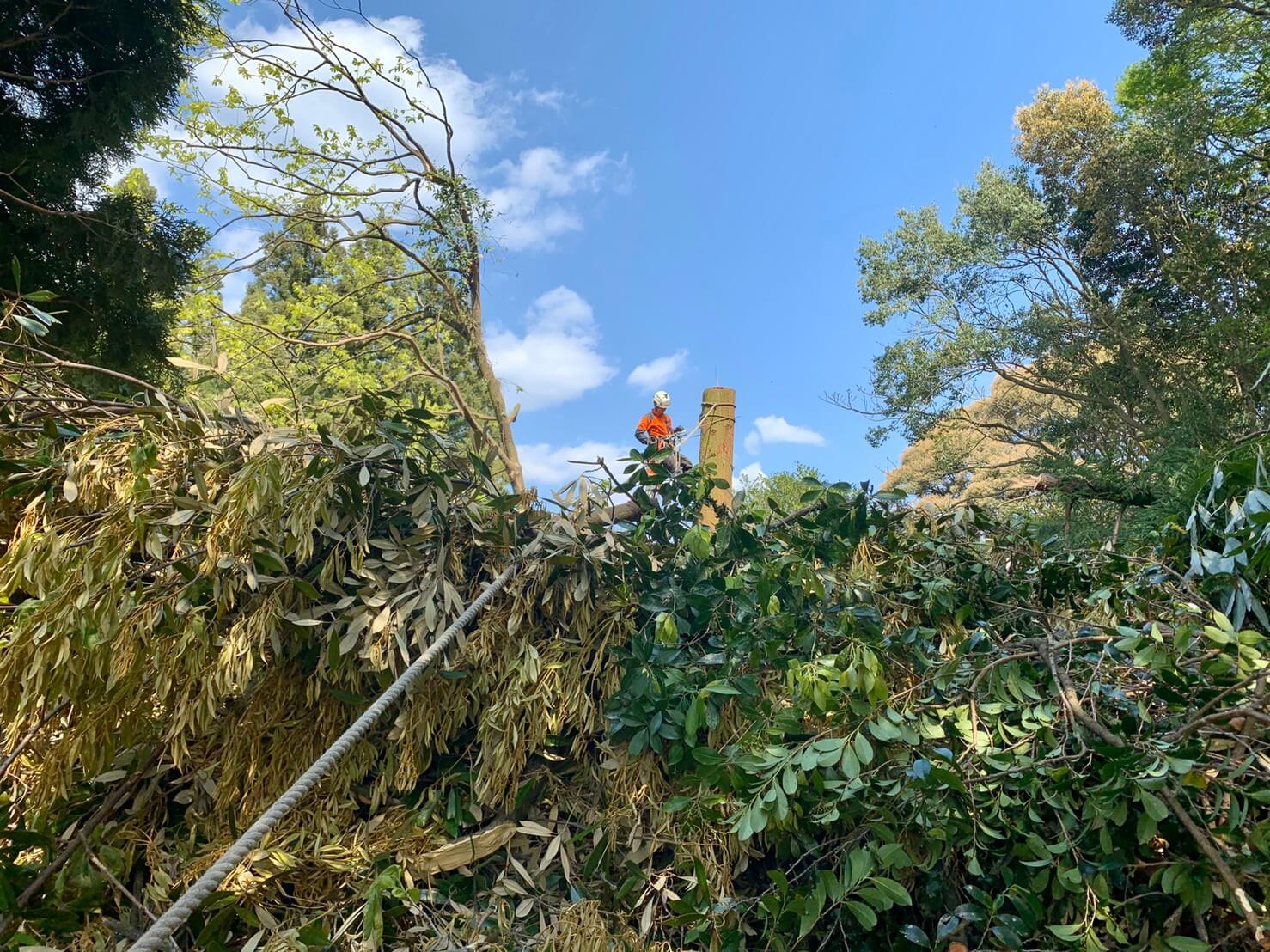最後はロープで牽引しながら伐倒しました。
