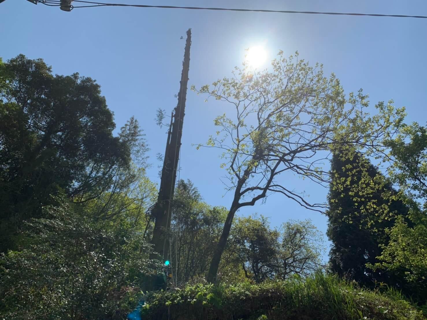 枝葉の無くなった杉の木。高さは24m程度ありました。