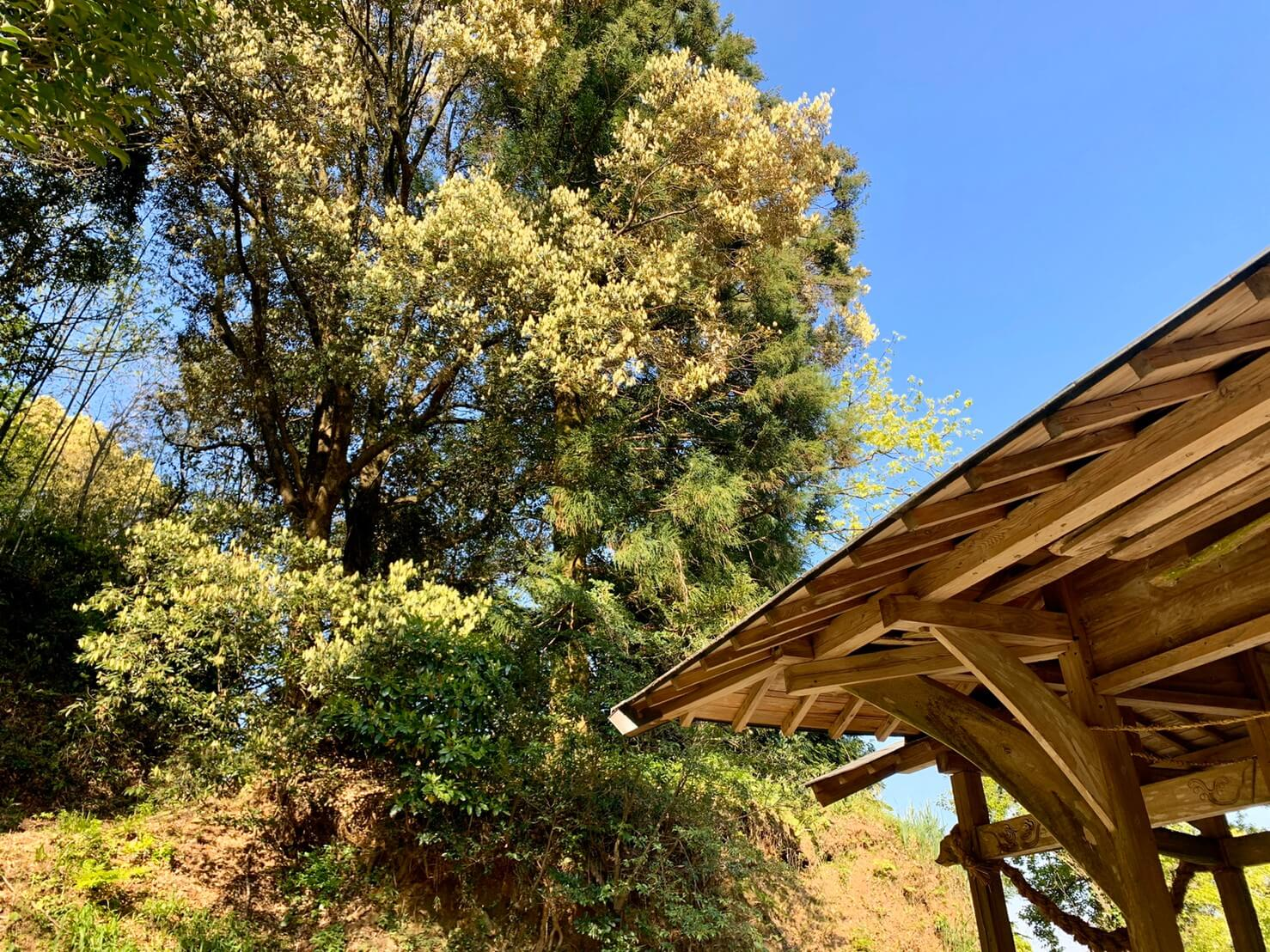 (作業前)大きく成長しすぎた杉の木とイチイガシ