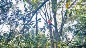 イチイガシに登りこむ代表山本