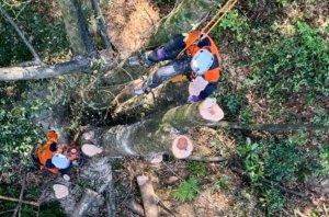 高さを下げた所で伐倒を行う郡(左)