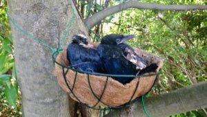 カラスの巣を近くの木の又へ新設してお引越し完了!