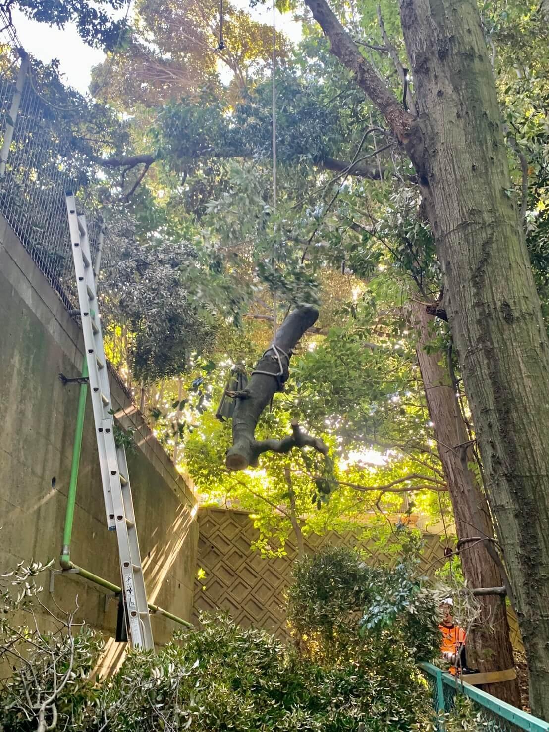 カシの木の吊り切りを行う代表山本と郡。