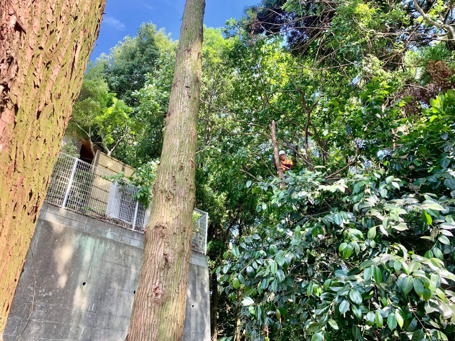 住宅側へ偏心した杉の木を伐採するスタッフ郡。