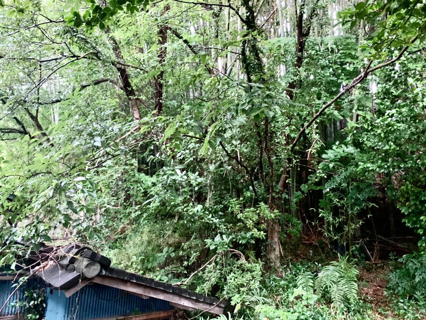 斜面に生えた雑木や藪のようになってしまった竹林