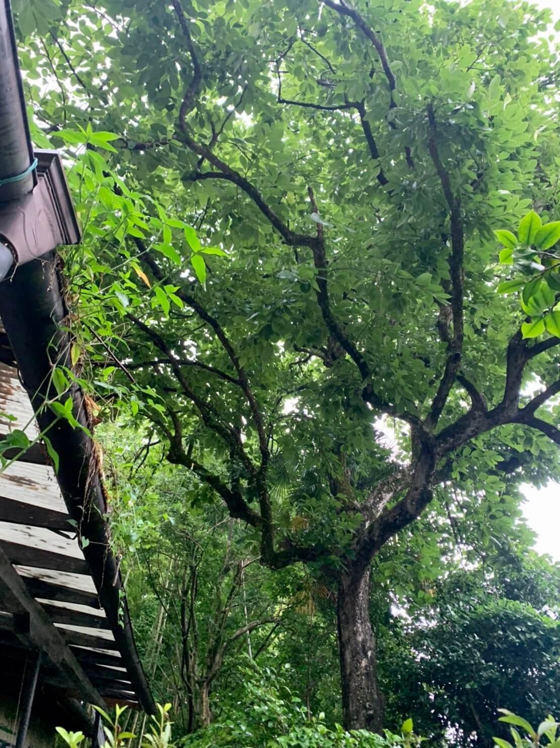 屋根に覆い被さる....というよりも屋根に枝が乗っかったまま成長してしまった柿の木