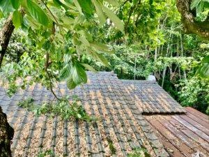 カキノキ、樹上からの写真。枝が屋根に乗っかってしまっているのがお分かりいただけるかと思います