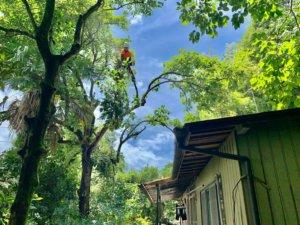 枝下ろし作業を丁寧に進める代表山本。屋根や窓等、構造物に注意しながら作業を進めていきます。