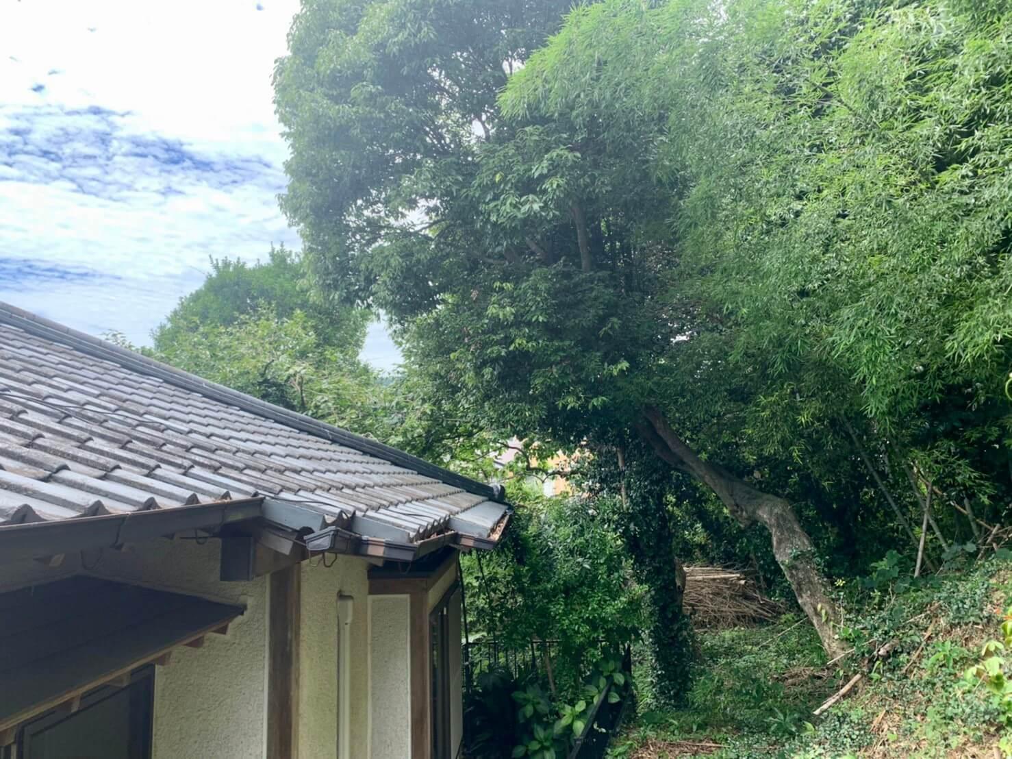 右側の斜面から屋根の上に向かって枝を伸ばすカシノキ