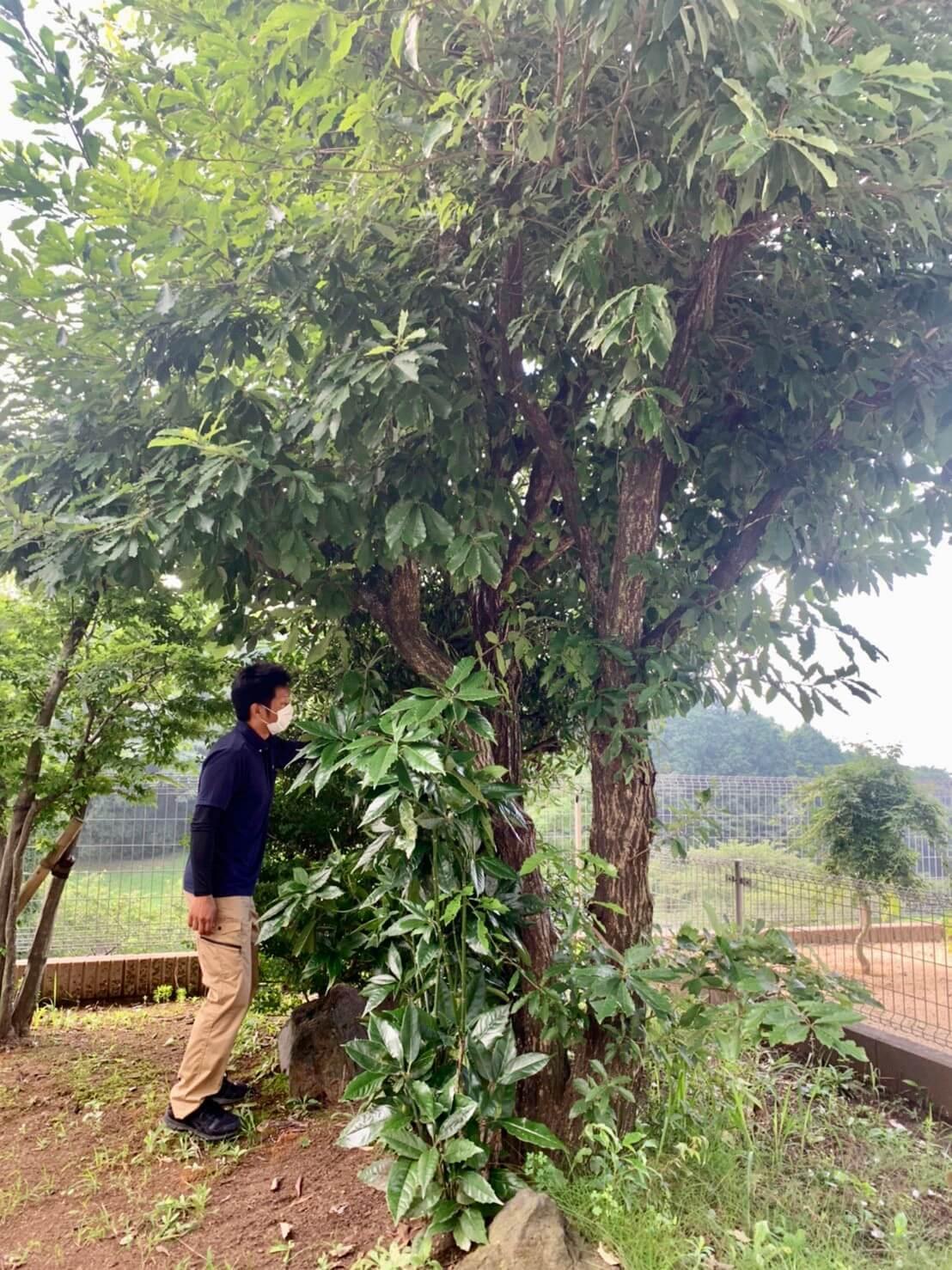 伐根対象の木の確認を行う代表山本。株立ちのクヌギは根も大きく広がっていそうです。