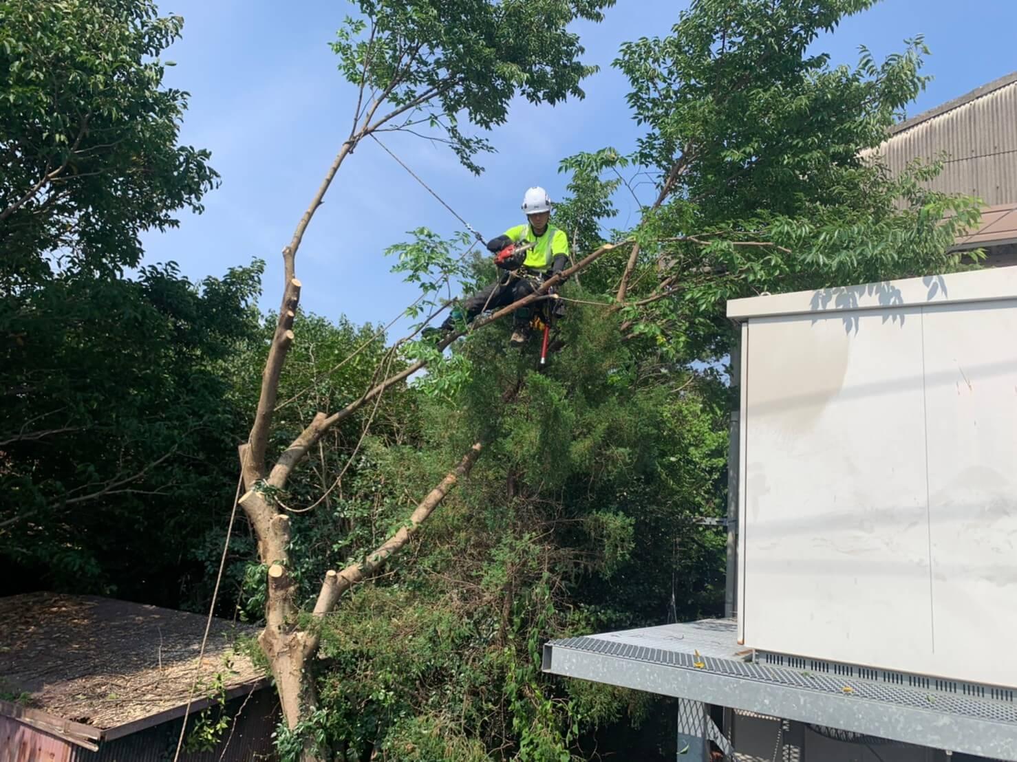 樹上に登りこみ、作業を始める代表山本。構造物に注意しながら枝を切り下していきます