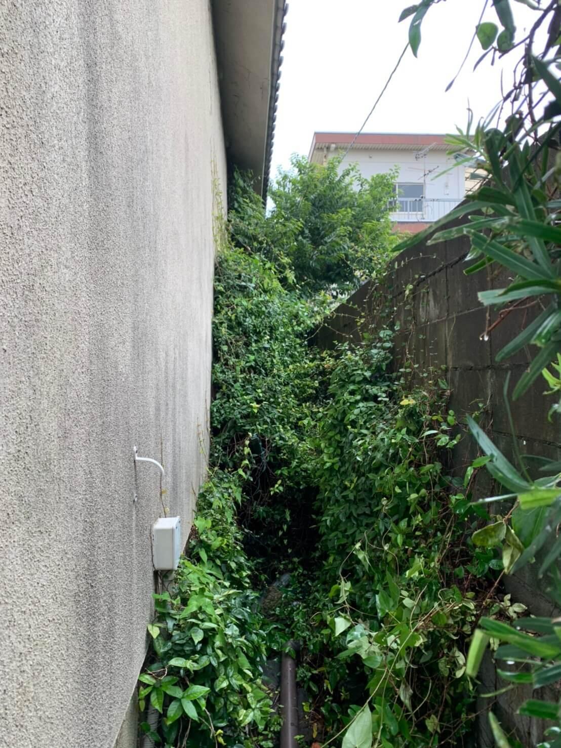 剪定を終えた後は高さ4m程の壁を覆いつくす程成長したツタの除去