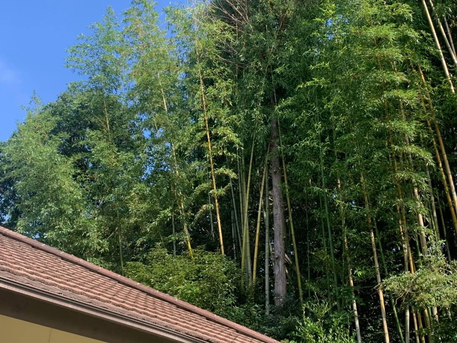 中央より少し右側に写っているのが今回伐採を行うヒノキ。枯れが進行し、弱ってきているような状況でした。