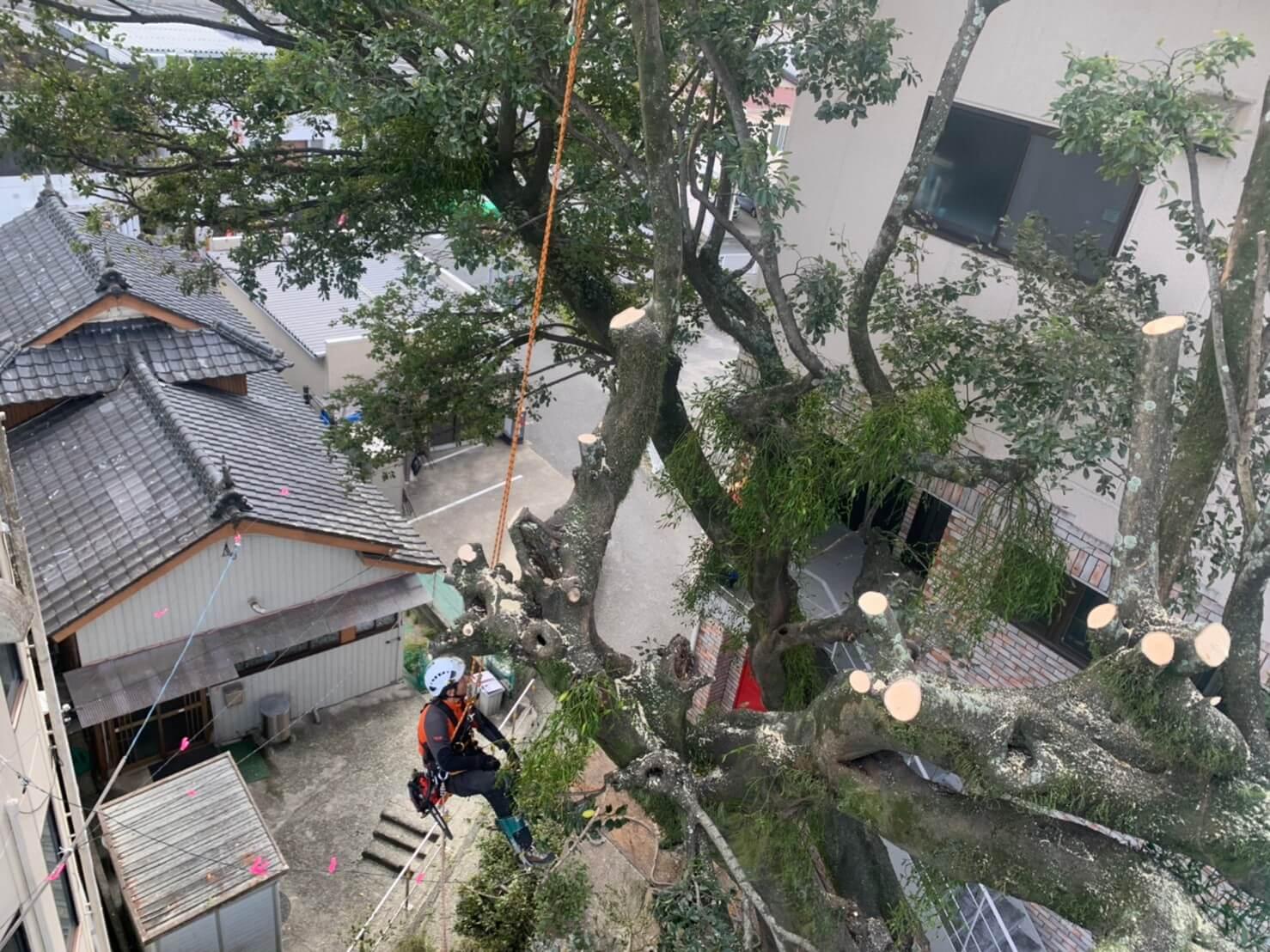 高所作業者が届かない箇所は直接木に登りこんで作業を進めます。