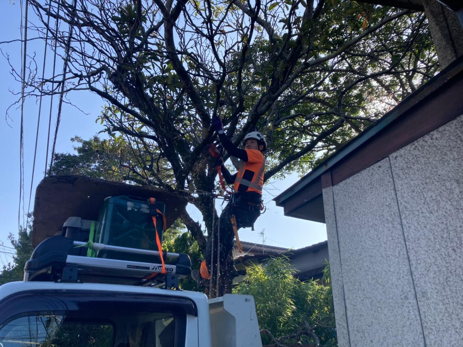 木に直接登りこみ、作業を始める田嶋。