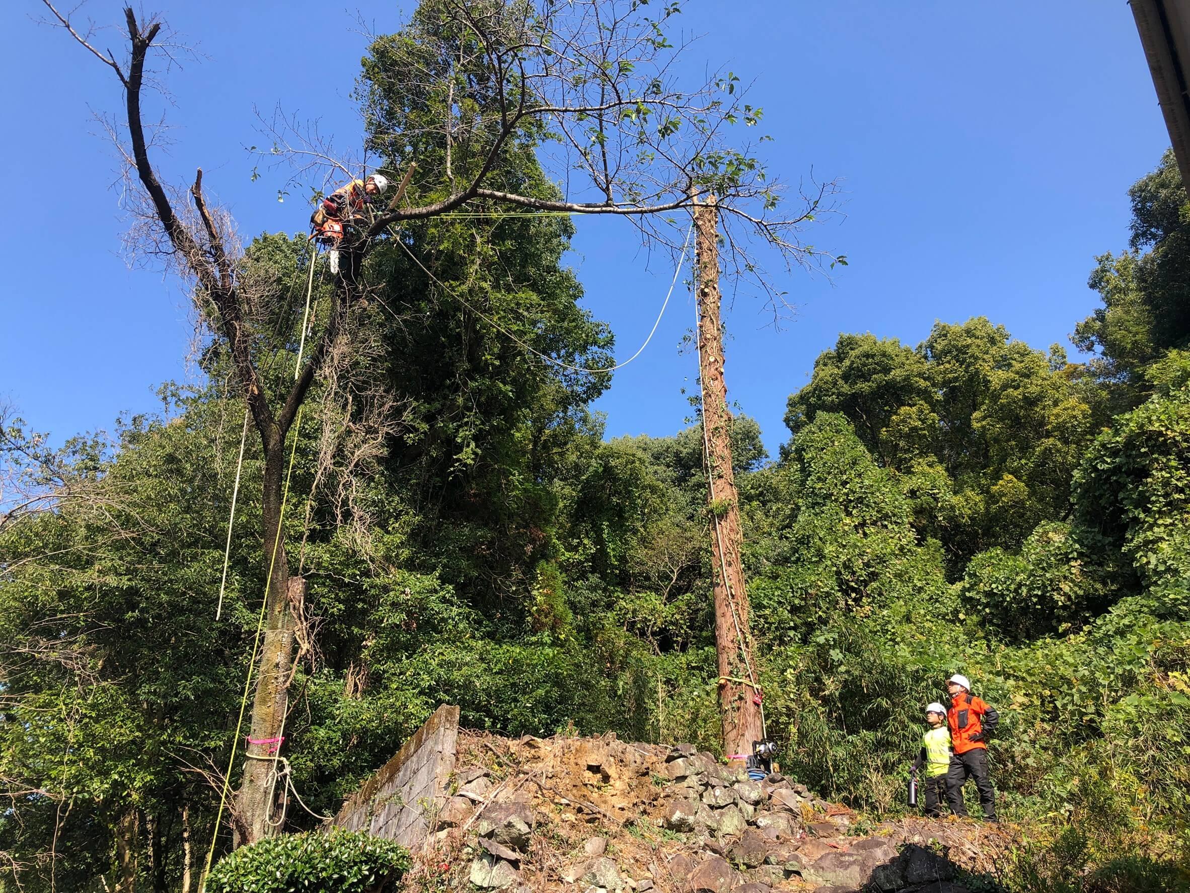 枝先まで吊るためのロープをかけに行く田嶋。