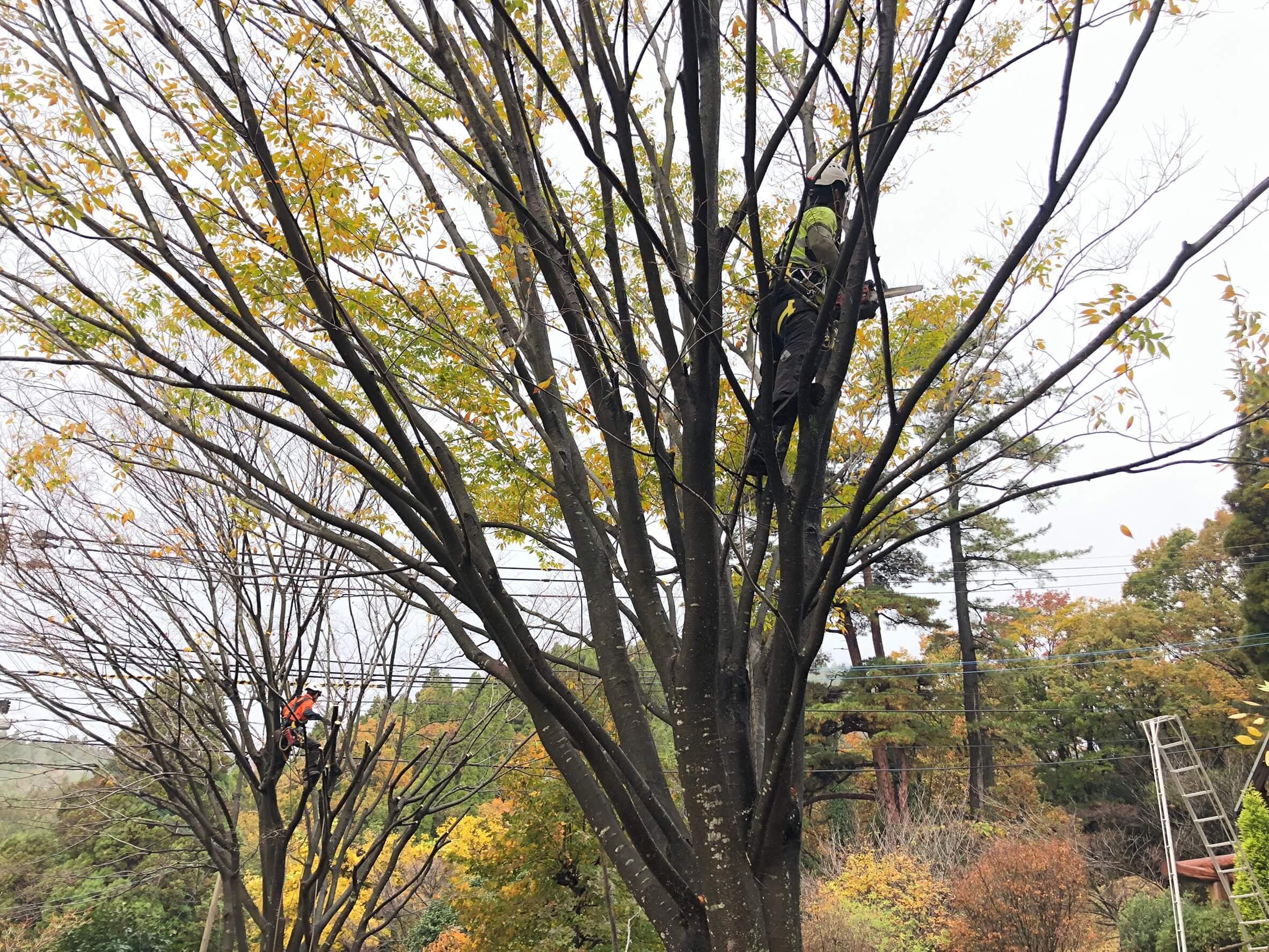 木に登りこんで剪定作業を行うスタッフ藤本(左)と田嶋(右)