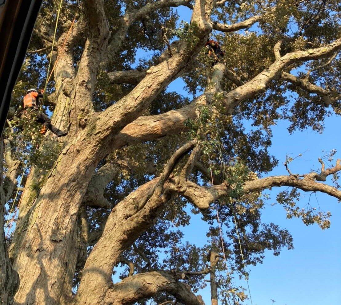 木に登りこみ剪定作業を始める代表山本とスタッフ田嶋。