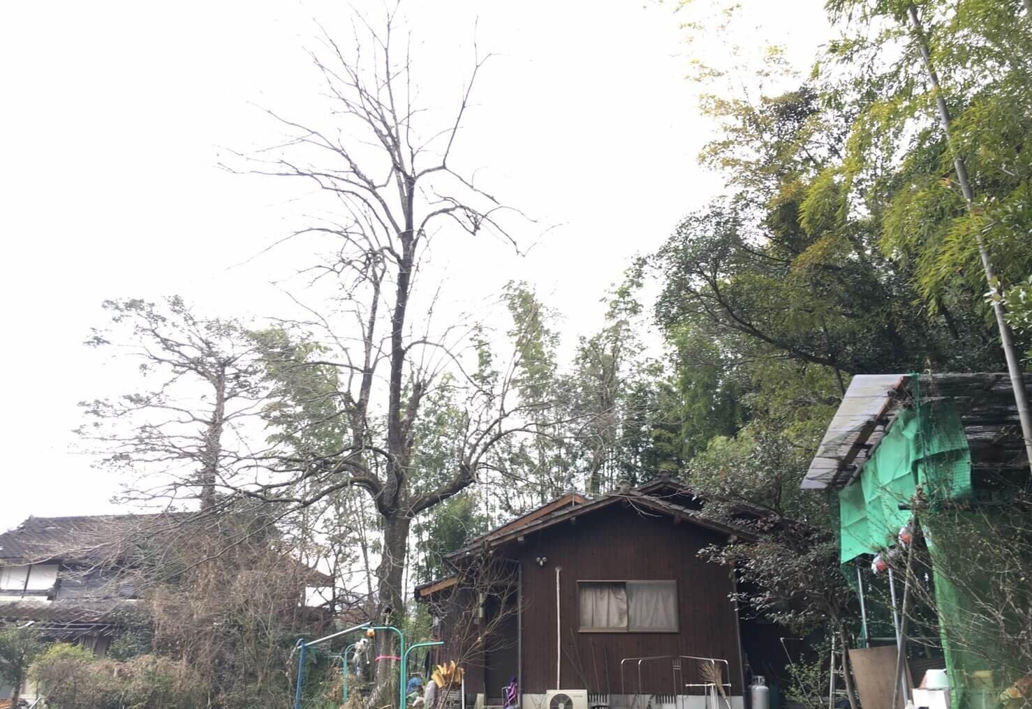 中央左よりにピンクテープを巻いた柿の木が一本目の対象木。